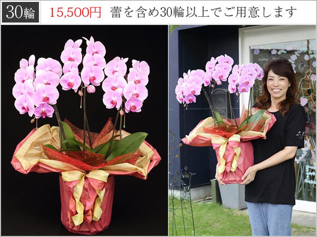 LEDピンクの胡蝶蘭