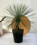 ユッカ リネアリス観葉植物通販・販売