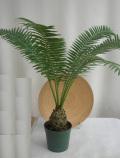 ディオーン・スピヌロスム観葉植物通販・販売