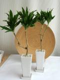 ドラセナ・コンパクター ロングスクエアS観葉植物通販・販売