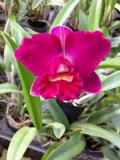 【栽培用 花なし株のみ】Lc.Mini Purple × Blc. Don De Michaels  (No305)