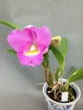 【栽培用 花なし株のみ】Lc. Mini Purple × Bc. Pastoral(No260)