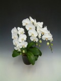 森田さんの農場直送 大輪胡蝶蘭3本立ち 白 30輪前後