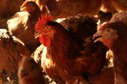 伊達鶏のしゃぶしゃぶ用むね肉スライス1キロ【伊達物産】★クール送料込★