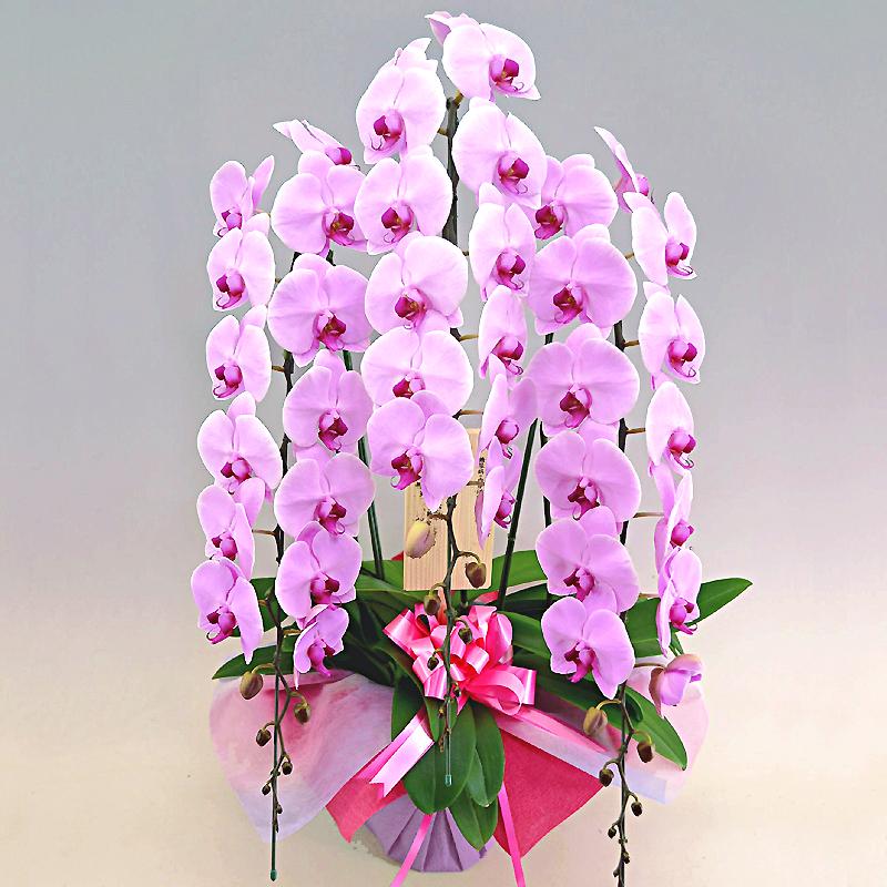 胡蝶蘭ピンク ひときわ豪華なピンク花の花3本立ち商品