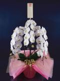 当日胡蝶蘭は背面立て可能