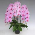 胡蝶蘭 高級ピンク 誕生日のお祝い用 花3本立ち 「桃 梅」 30輪前後