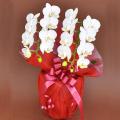 誕生日プレゼント用の花 胡蝶蘭ミディー 白色 花2本立ち