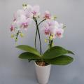 母の日プレゼントにも最適 花 胡蝶蘭 ミディー 薄ピンク色 サンクスポット ハルガスミ