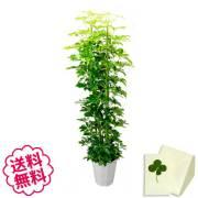 観葉植物 カポック 10号 商品内容