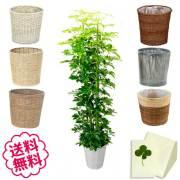 観葉植物 カポック 10号 選べる鉢カバー 全6種類 商品内容
