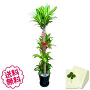 観葉植物 幸福の木 10号(黒丸鉢 皿付き 白石マルチング) 140cm
