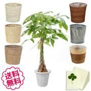 観葉植物 パキラ 10号 選べる鉢カバー 全6種類 商品内容