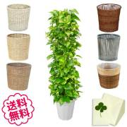 観葉植物 ポトス 10号 選べる鉢カバー 全6種類 商品内容