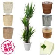観葉植物 ユッカ 10号 選べる鉢カバー 全6種類 商品内容