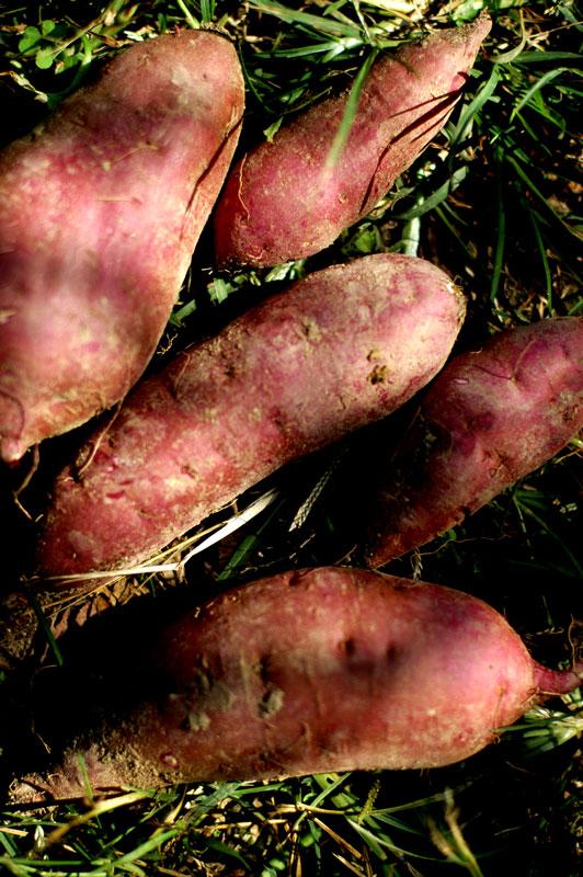 熊本の大地より、無農薬栽培のさつまいも <べにはるか> (1キロ)