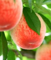 わけあり桃が伝える本当の自然!「山育ちの桃」(16〜18個)