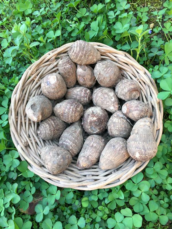 熊本産・有機JAS栽培の里芋 (1キロ)
