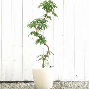 エバーフレッシュ【大きな観葉植物専門店 ガーデントロピカ】