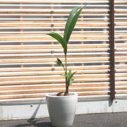 ココヤシ元気な芽だしの10号鉢 夏を演出するなら!【2503-210】