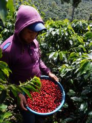 Guatemala  (Bourbon)  200g