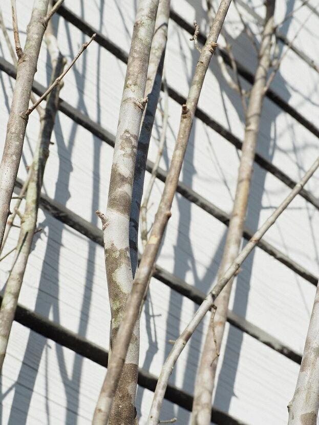 アオダモの画像 p1_9