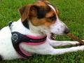 着けやすいおすすめイタリア製小型犬用ハーネス|Fibbia ソフトメッシュ Tre Ponti トレ・ポンティ|犬グッズ通販HAU