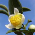 日本の花のフラワーエッセンス FE2  チャノキ