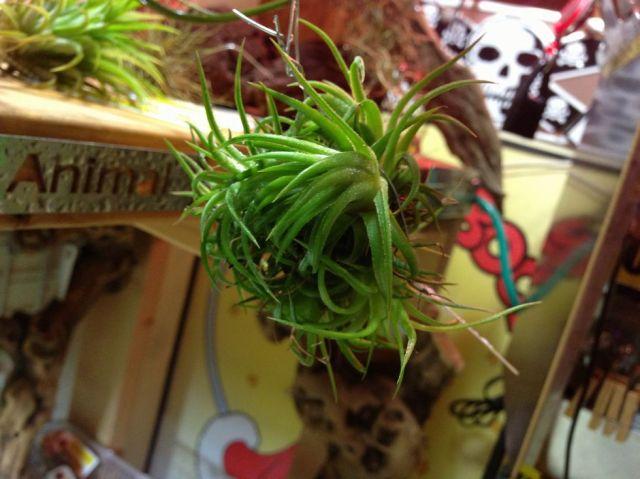 (植物:Plant)チランジア・ベルゲリclump NO1