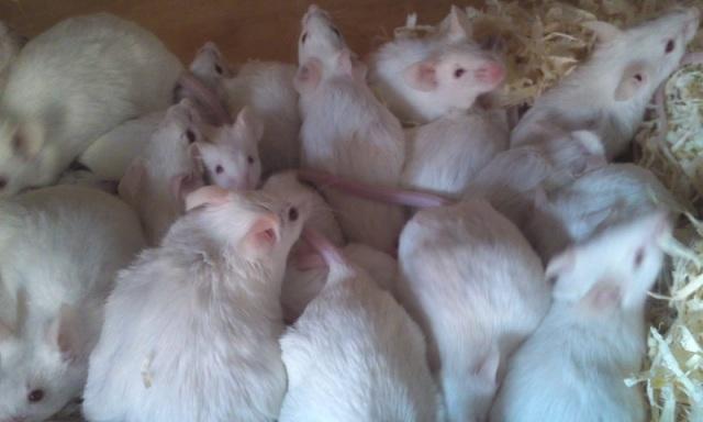 (飼育用品・活餌)ハツカネズミ 活マウス10匹で2000円+梱包代(5匹入り150円×2ケース)