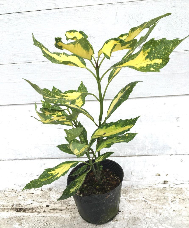 フイリアオキ 斑入り葉 ピクチュラータ (斑入青木)