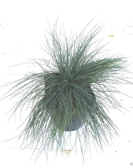 カレックス ブルーグラス オーナメントグラス 植木組合