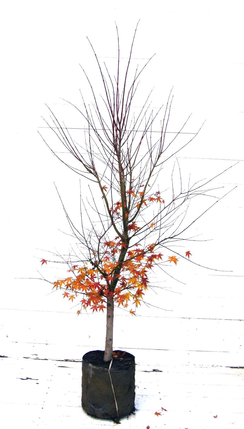 イロハモミジ 1本立ち 高さ1.5m