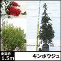 ブラシノキ キンポウジュ 金宝樹