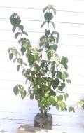 ガマズミ 落葉