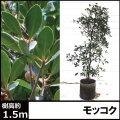 モッコク もっこく 植木