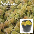 植木組合の セダム 多肉植物 オーレウス  ゴールデンカーペット 万年草