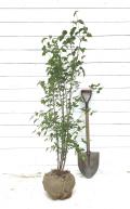 ヤマボウシ 人気のシンボルツリー 株立ち