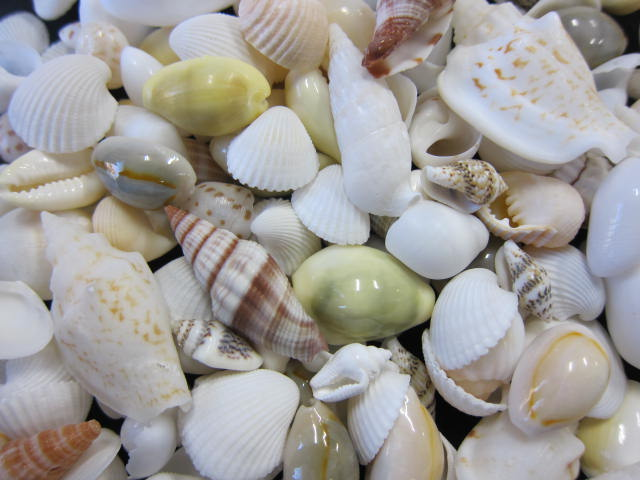 【無料サンプリング】西海岸スタイルに最適!「貝殻の問屋さん」のオシャレな貝殻セットを使ってくれるユーザーさん大募集!