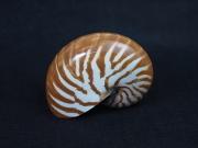 オウムガイ磨【約11±1cm/1個】貝殻・貝・シェル