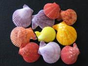■メール便可(6袋まで)■ヒオウギガイ両面ミックス【約5±0.5cm/10個入】貝殻・貝・シェル・二枚貝
