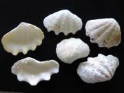 シャコガイ片面【約10〜12cm/6枚入】貝殻・貝・シャコガイ