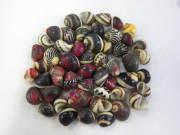 ■メール便可(10袋まで)■ゴシキカノコ【約1.0〜1.5cm/30g】貝殻・貝・シェル
