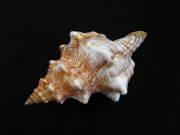 イトマキボラ【約17±1cm/1個】貝殻・貝・シェル