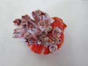 ヒオウギガイ(フジツボ付き)【約7±1cm/1個】貝殻・貝・シェル・二枚貝