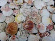 ピクテンローズ片面【約2.5〜5.0cm/500g】貝殻・貝・シェル