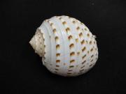 ウズラミヤシロ【約8〜10cm/1個】貝殻・貝・シェル