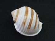 ミヤシロガイ【約10〜12cm/1個】貝殻・貝・シェル