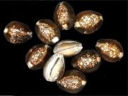 ■メール便可(10袋まで)■ハナマルユキ【約2.5〜3cm/10個入】貝殻・貝・シェル
