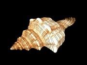 イトマキボラ【約8〜10cm/1個】貝殻・貝・シェル